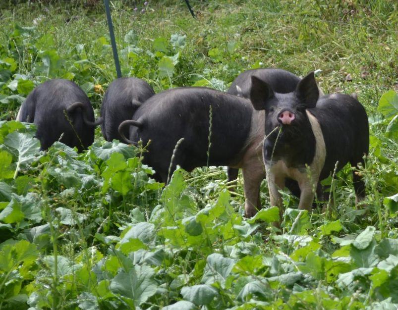 Rarebreed Pigs