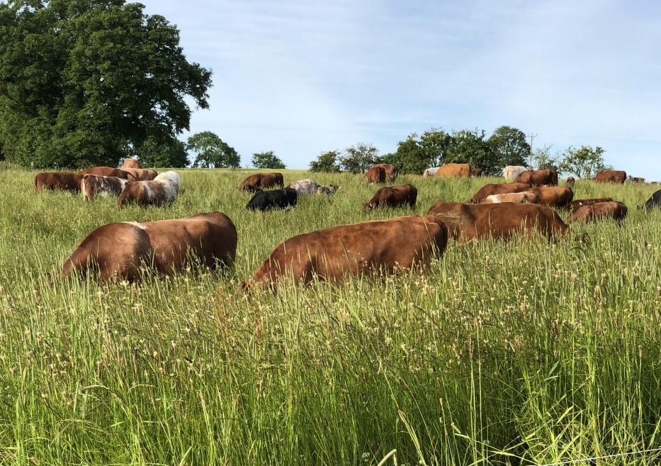 Grass Fed Beef Grazing